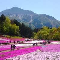 Shibazakura Chichibu at Hitsujiyama Park in 2020
