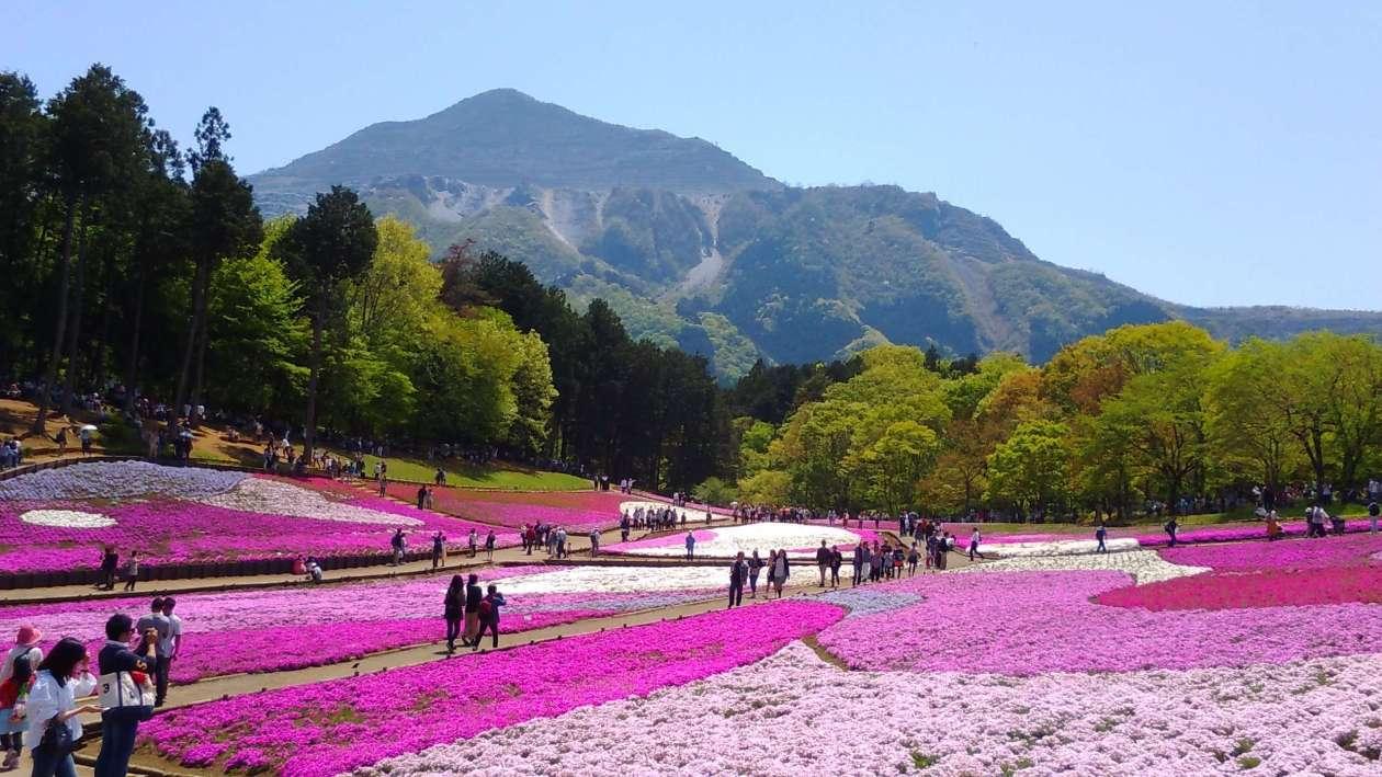 Shibazakura Chichibu Hitsujiyama park 2020