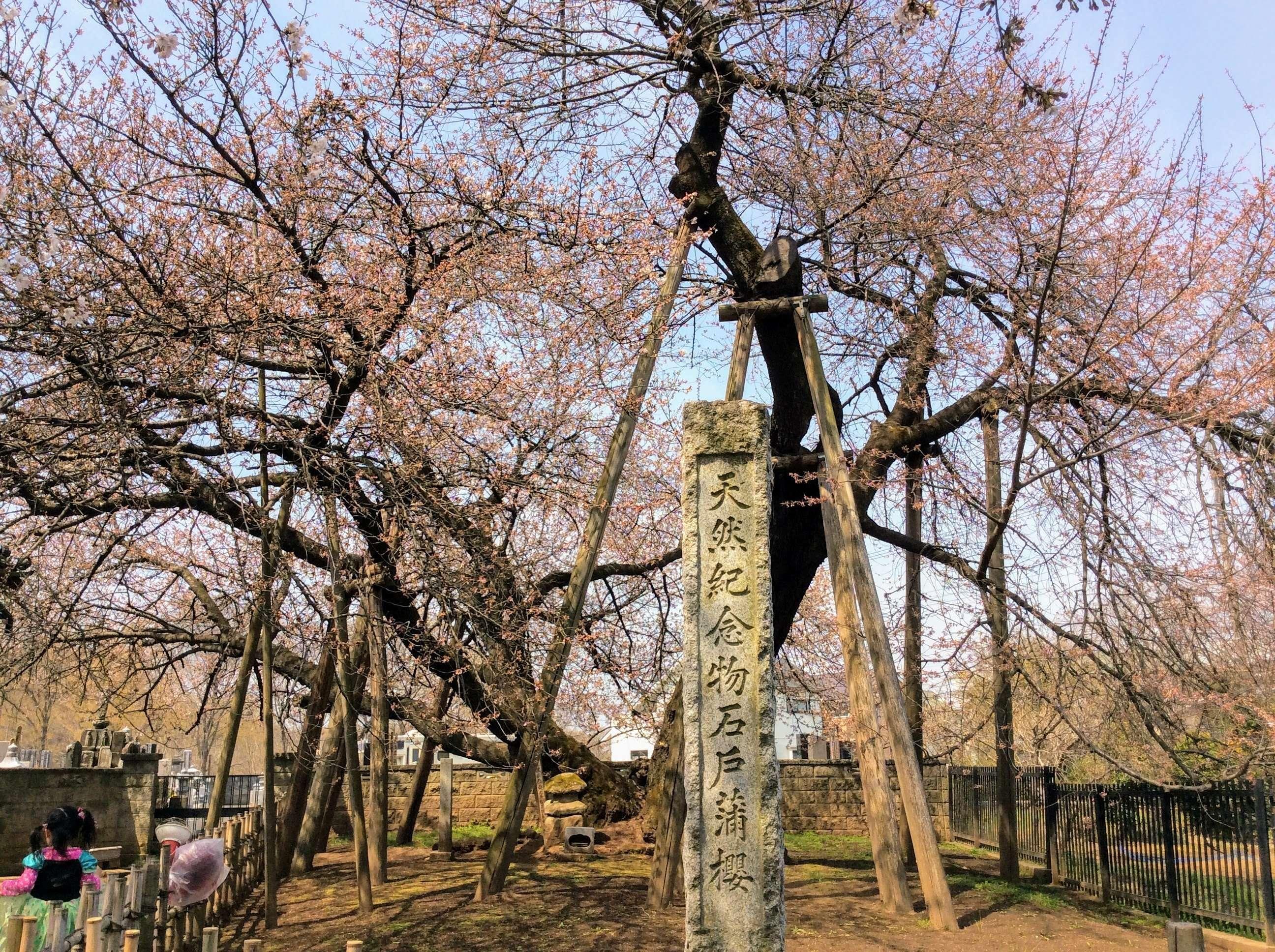 Famous saitama sakura