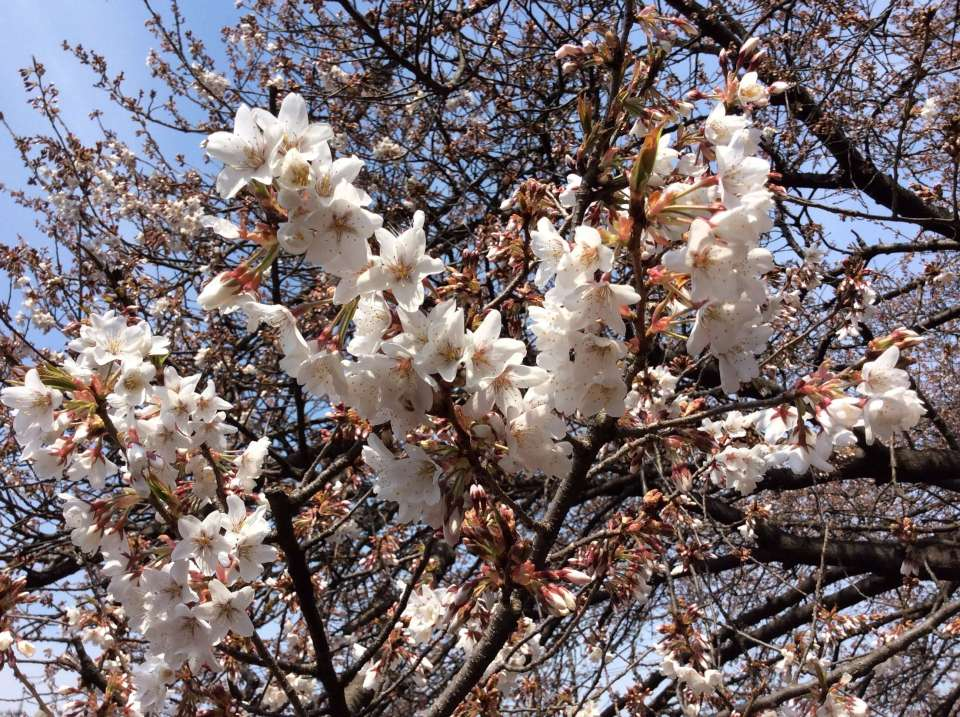 Only one in the world: Saitama's famous cherry blossom   KITAMOTO