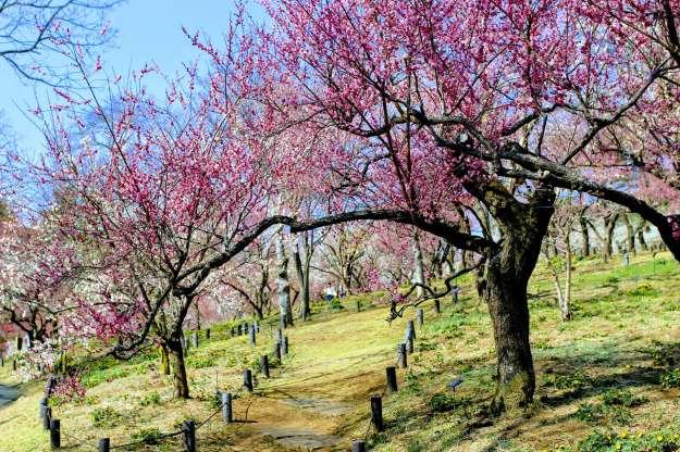 Plum Blossoms Shinrin ...</li data-recalc-dims=