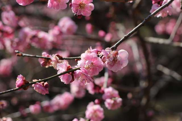 Shinrin Park and Omiya Plum blossoms