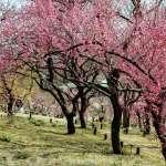 Shinrin Park Plum Blossoms