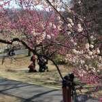 Plum blossoms shinrin park
