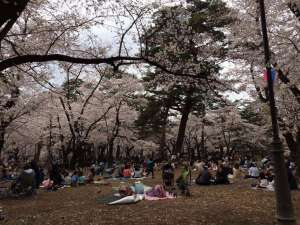Omiya park cherry blossoms