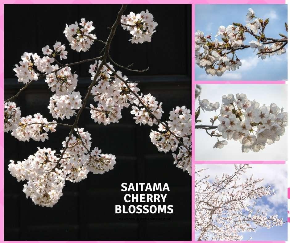 Saitama Cherry Blossoms: most famous Spots | SAITAMA PREFECTURE