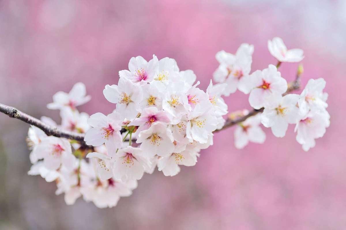 Nagatoro Cherry Blossom Festival   NAGATORO