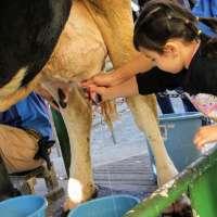 Milking cows at Saitama Children's Zoo | HIGASHIMATSUYAMA
