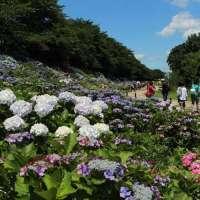 Hydrangea Season at Satte Gongendo Park