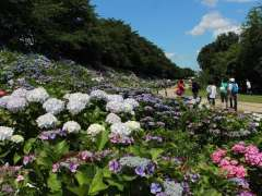 Hydrangea festival From the Satte City Tourism Association official website