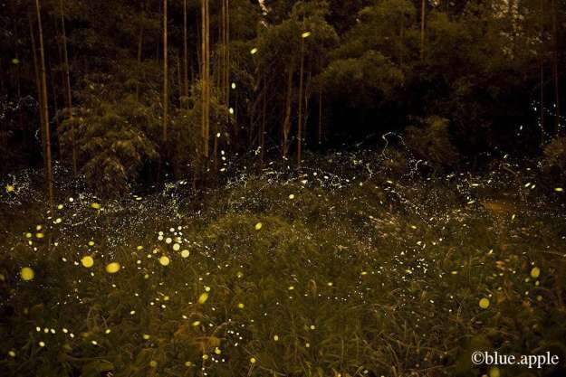 Fireflies in their natural habitat | CHICHIBU
