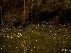 Fireflies in their natural habitat blue apple with permission