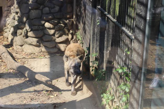 Hyena at Omiya Park Zoo