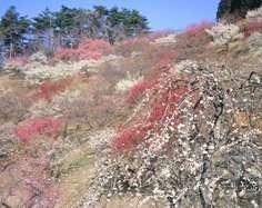 Plum blossom festival nagatoro