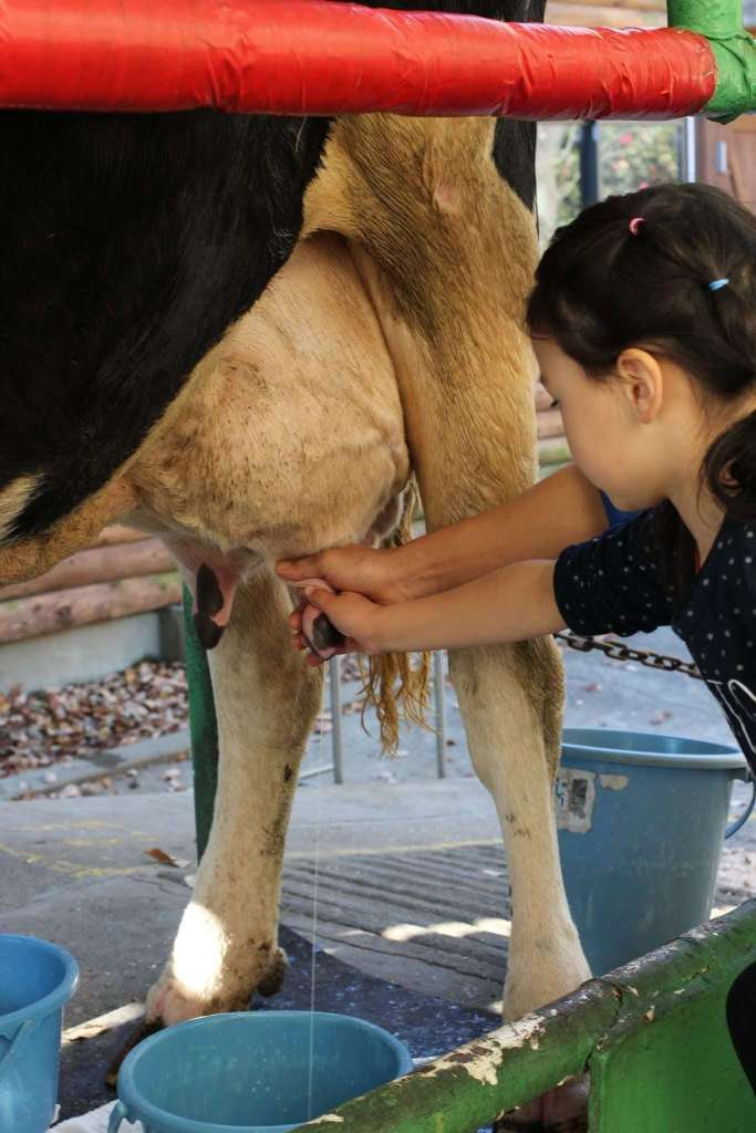 Milking cow and Butter making event saitama children's zoo