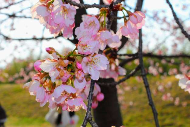 Nissai Sakado Sakura festival early blooming sakura cherry blossoms saitama with kids things to do in saitama cherry blossoms in saitama