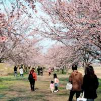Early March Sakura in 2020, Kita Asaba