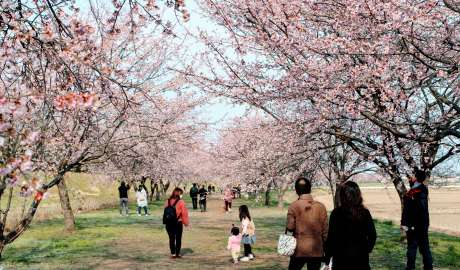 early blooming sakura cherry blossoms at Kita Asaba cherry blossom embankment in Nissai Sakado
