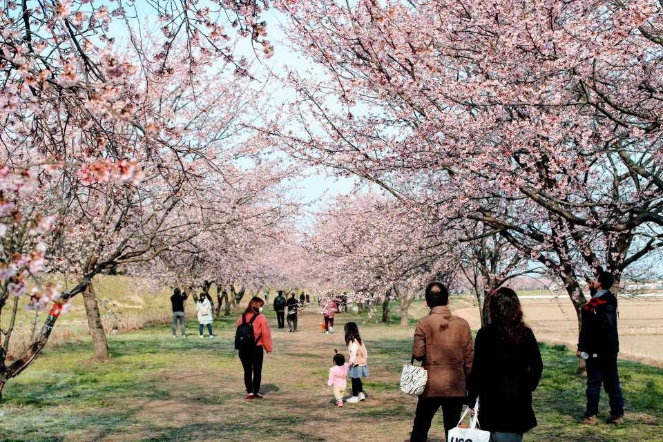 early blooming sakura cherry blossoms at Kita Asaba cherry blossom embankment in Nissai Sakado