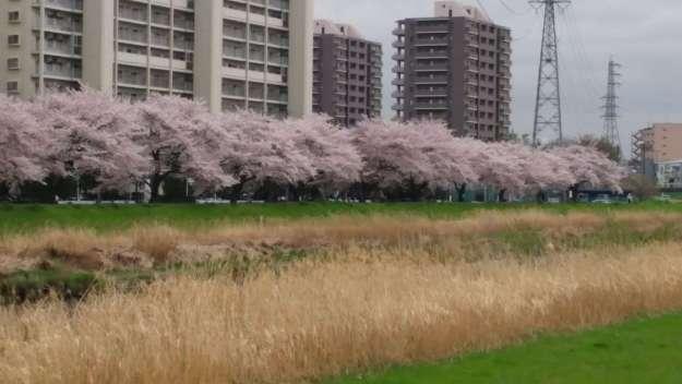 Yanasegawa Cherry Blossoms | SHIKI