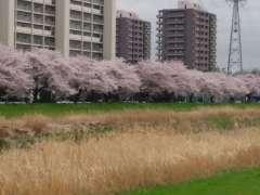 Yanasegawa Cherry Blossoms Shiki Sakura