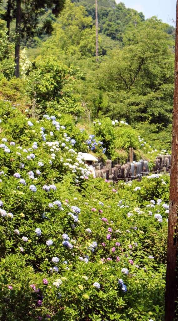 Hydrangea best saitama flowers