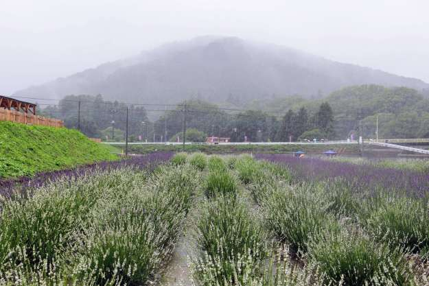 Visiting Ranzan Lavender festival in the rain! White lavender