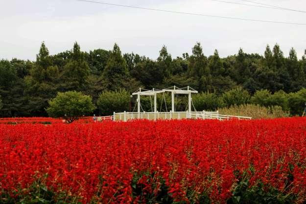 a sea of red salvia in saitama city
