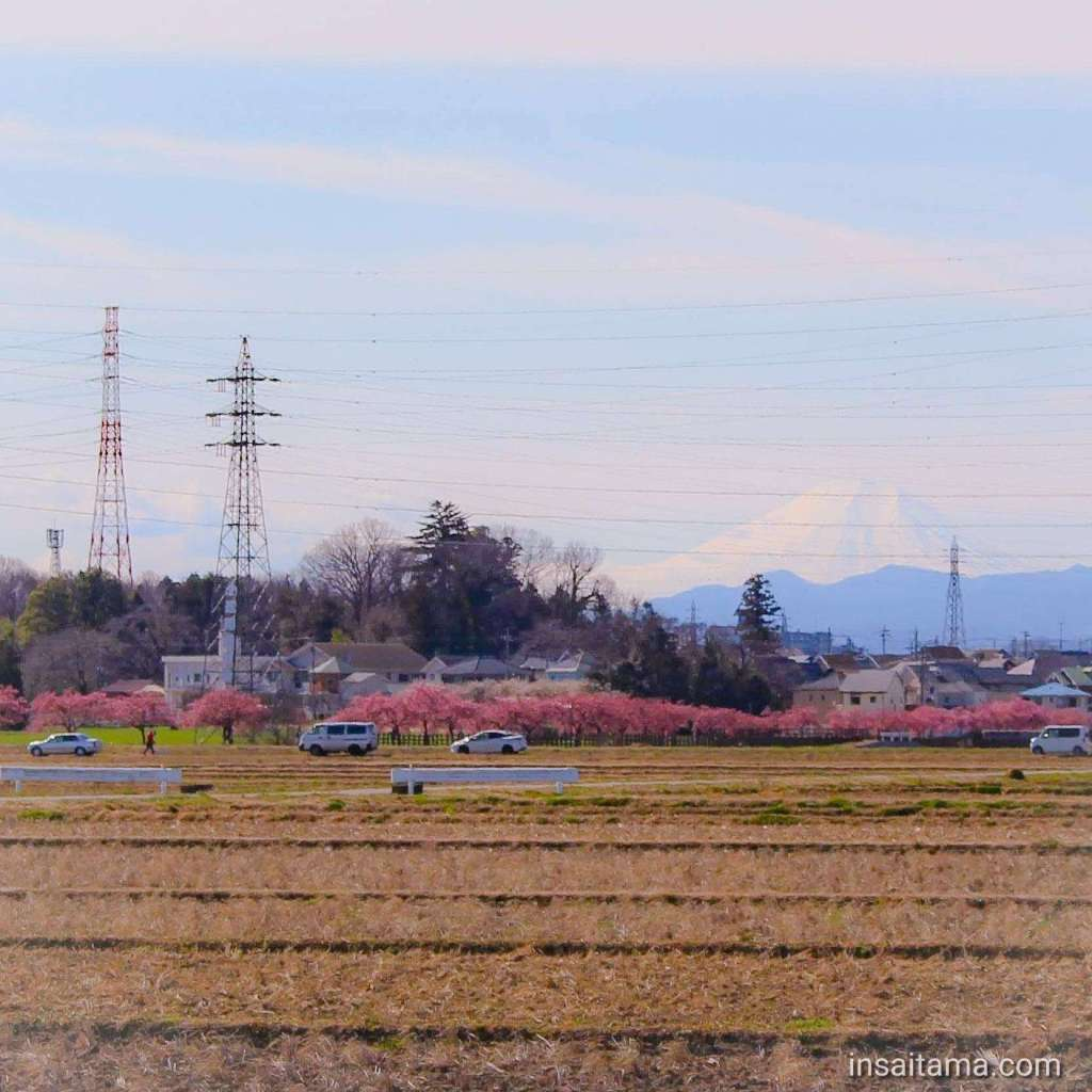 Sumiyoshi kawazuzakura Sakado 2020 with Mt Fuji in the background