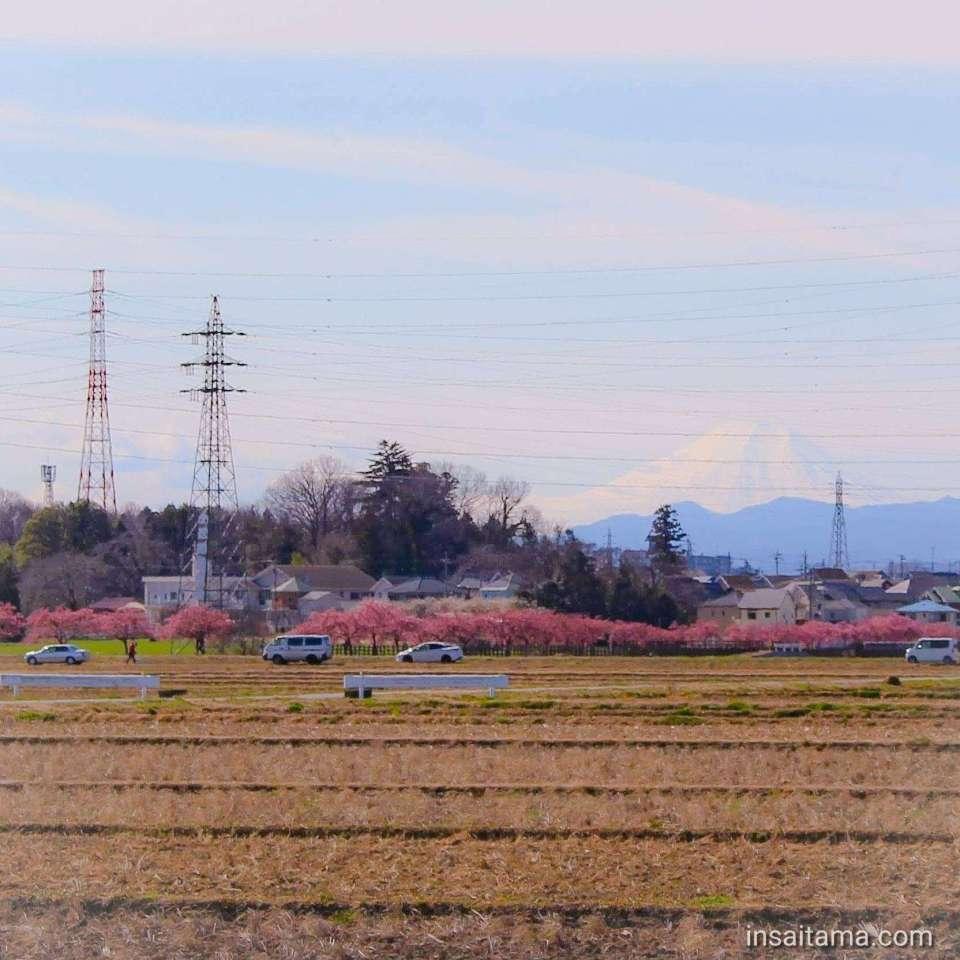 Sumiyoshi kawazuzakura Sakado 2020 with Mt Fuji in the background