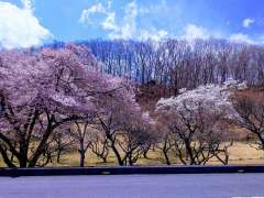 Chichibu Muse Park Plum Blossom Festival