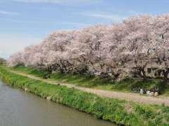 Kita Koshigaya Sakura Matsuri