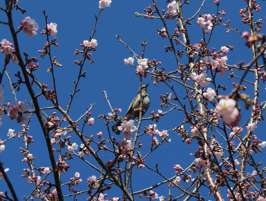 Japanese Bulbul in a cherry blossom tree