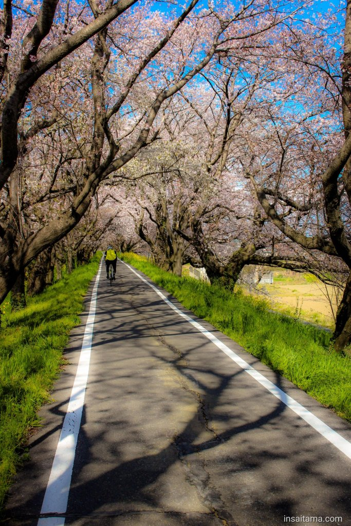 cherry blossoms and rapeseed on cycling course in Saitama Prefecture