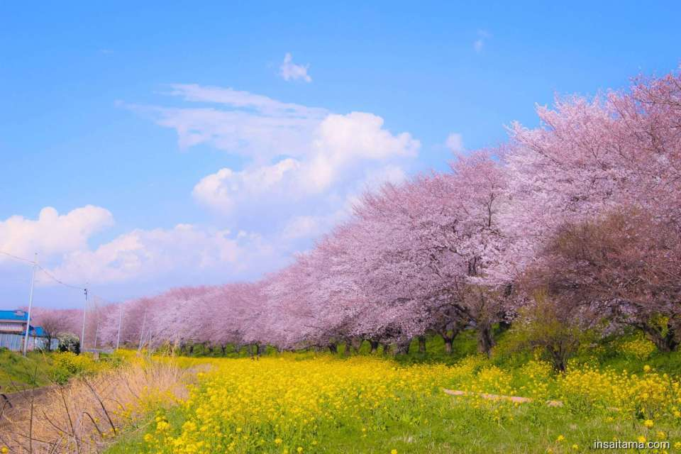 Cherry blossoms and Rapeseed Yoshimi
