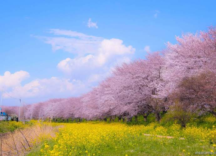Cherry blossoms and rapeseed Yoshimi March 23rd 2020