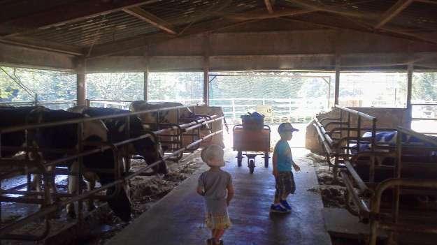 Cows at Enomoto Dairy Farm Saitama