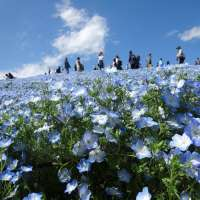 Nemophila in Saitama and Kanto, includes free virtual tours and a new spot