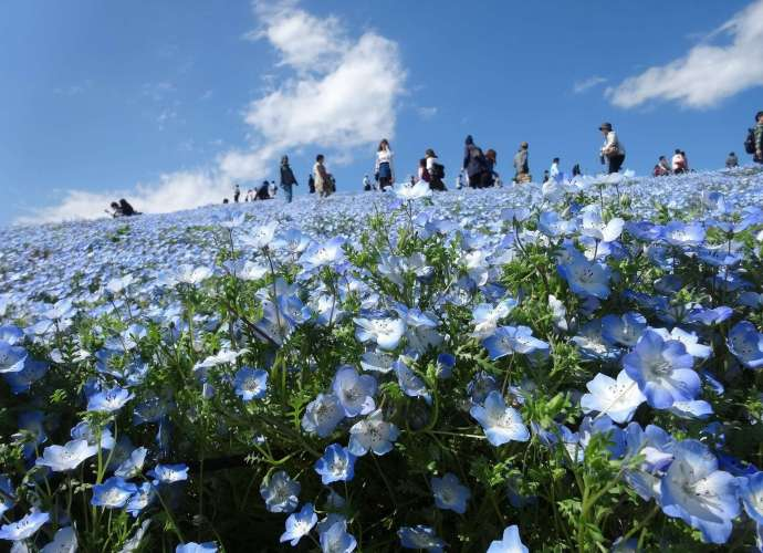 Virtual tours nemophila chiba Japan