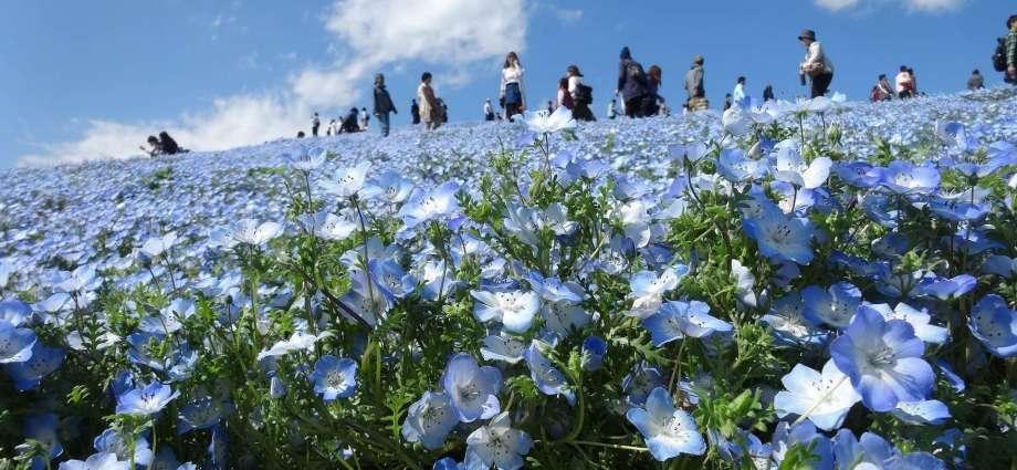Virtual tours nemophila chiba Japan