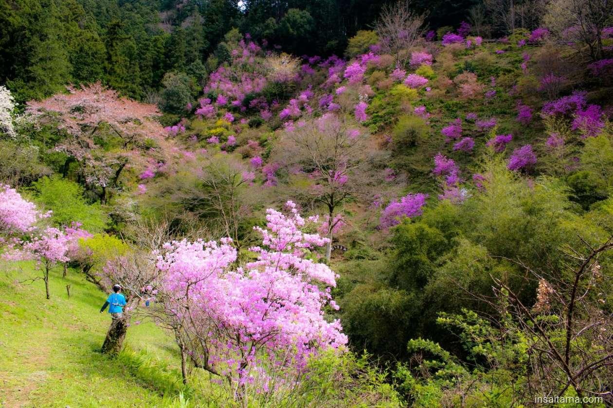 Mitsuba Azalea at Purple mountain