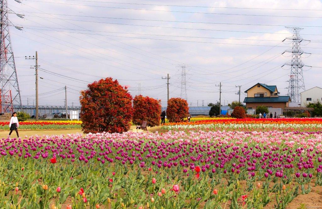 tulips in hana no oasis konosu
