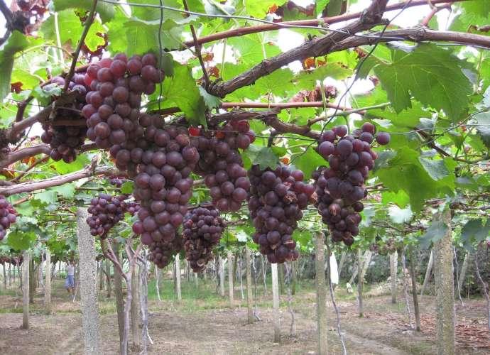 grape picking tokorozawa vineyard