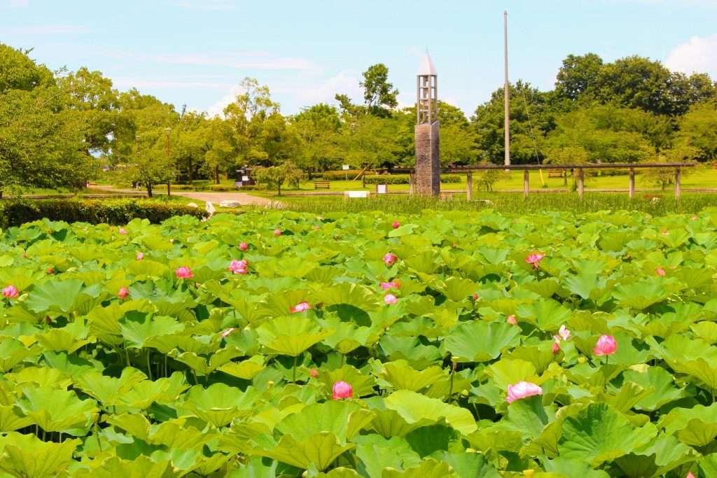 Lotus flowers Heisei no Mori Kawajima
