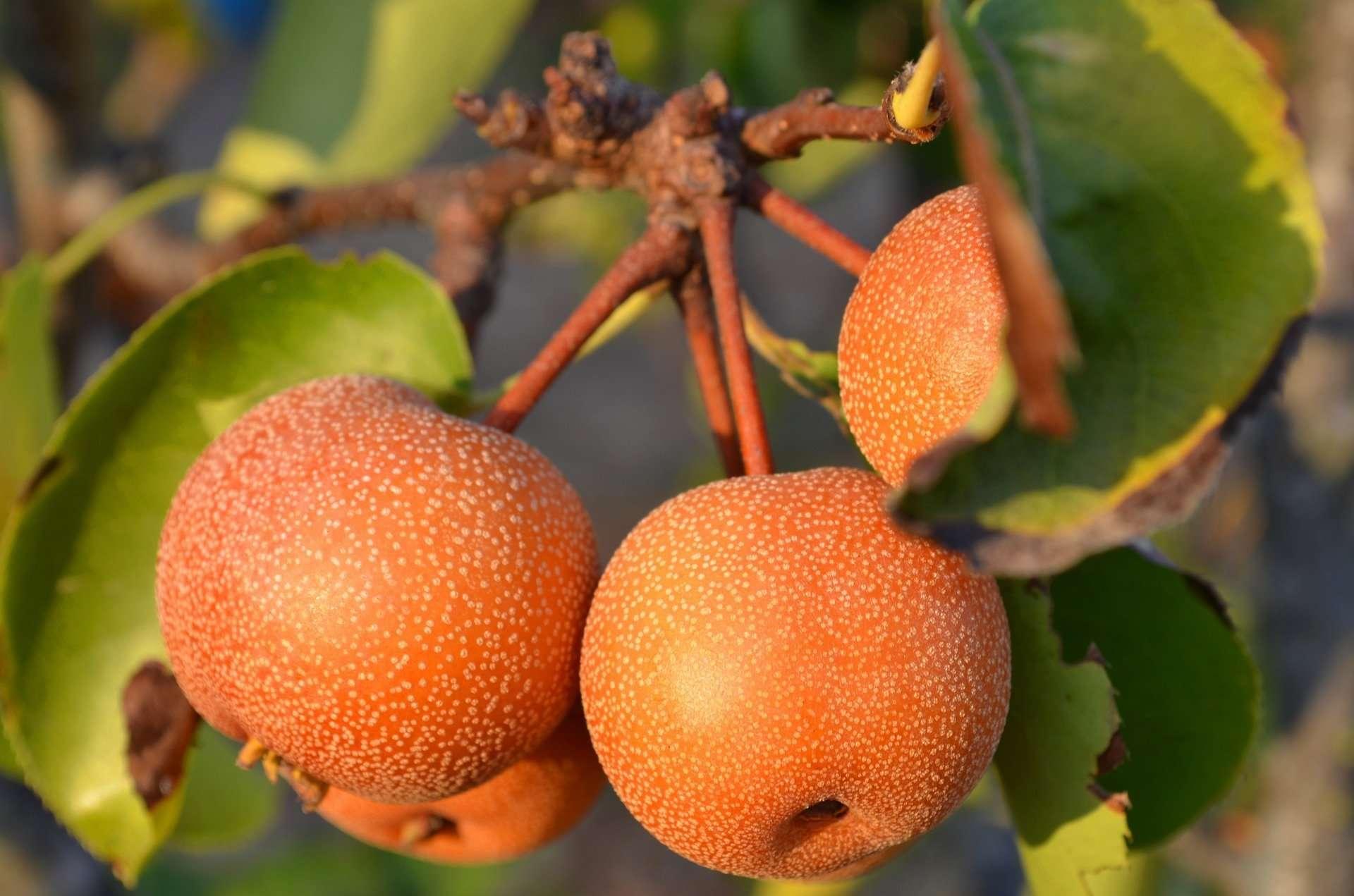 Pear picking Higashimatsuyama Saitama Japan 2020
