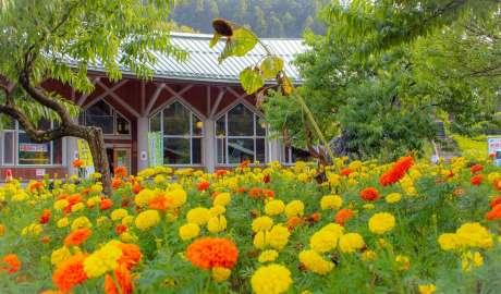 marigold in yoshida genki mura chichibu august