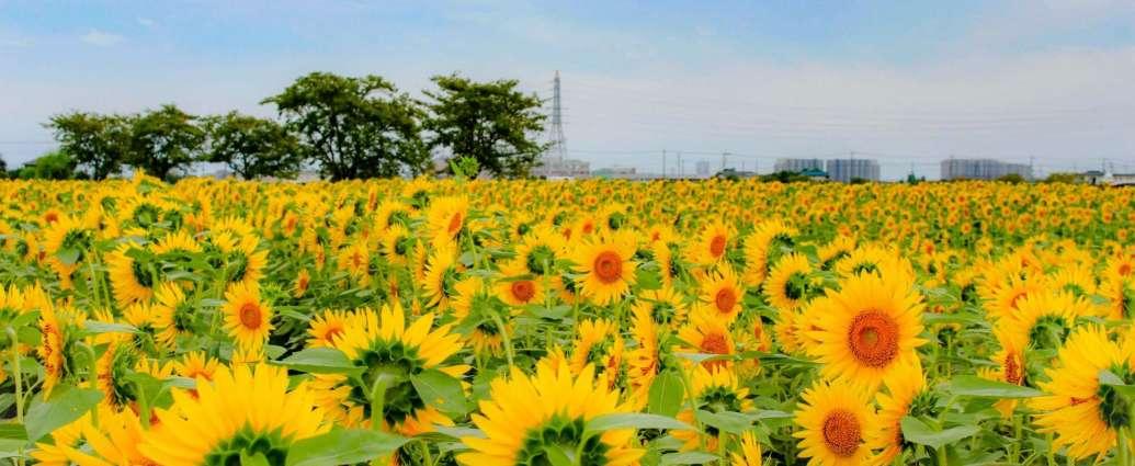 autumn sunflowers Kawagoe insaitama.com