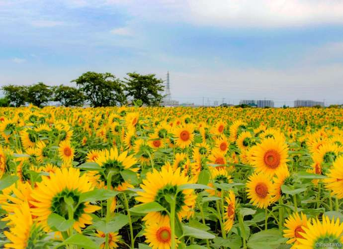 autumn sunflowers Kawagoe insaitama.com