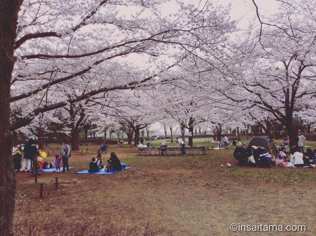 Sakura cherry blossoms at Shiroyama Park Okegawa