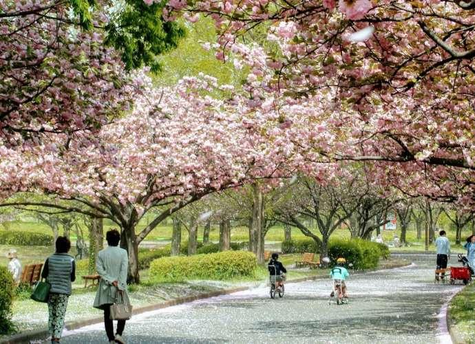 10 cherry blossom spots Kawagoe from insaitama.com